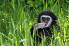 1_Gibbon